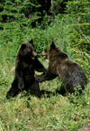 grizzly bears playing - cari and boo