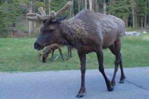 elk crossing the bow valley parkway